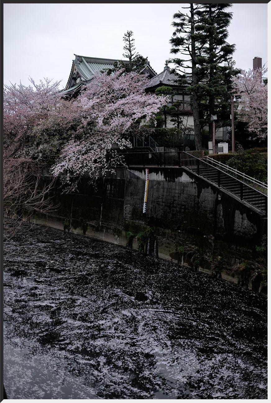 hanami_150405_37.jpg